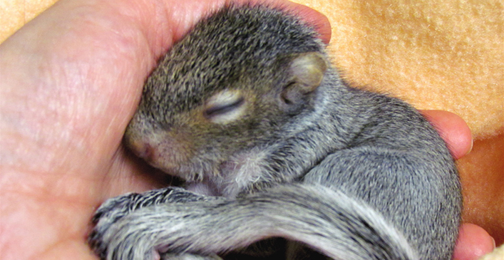 Rescued Baby Squirrel