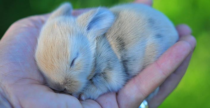 Baby Domestic Bunny