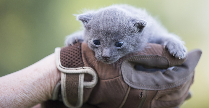 Grey Barn Kitten